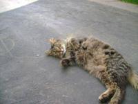 Maine Coon - Phoebe - Medium - Adult - Female - Cat My