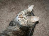 Maine Coon - Posey - Medium - Young - Female - Cat