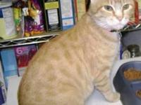 Maine Coon - Prada - Medium - Adult - Female - Cat