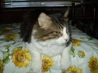 Maine Coon - Prince Charming - Extra Large - Adult -