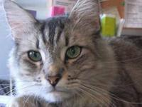 Maine Coon - Princewilliam - Small - Adult - Male -