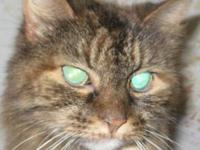 Maine Coon - Pumpkin - Small - Senior - Female - Cat