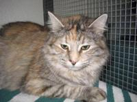 Maine Coon - Ransom - Large - Young - Female - Cat What