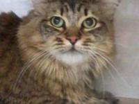 Maine Coon - Rascall - Medium - Young - Female - Cat
