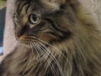 Maine Coon - Reba - Medium - Adult - Female - Cat Reba