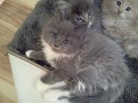 Maine Coon - Saya And Maya - Large - Young - Female -