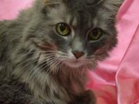 Maine Coon - Smokey - Medium - Senior - Female - Cat