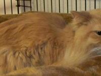 Maine Coon - Snaps ~such A Sweet Girl No Dogs!! -