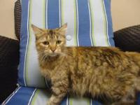 Maine Coon - Sophie - Small - Adult - Female - Cat Miss