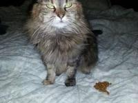 Maine Coon - Star - Large - Senior - Female - Cat Hi my