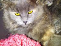 Maine Coon - Sugar ~what A Sweetie~ - Large - Young -
