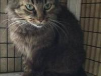 Mystic Kitty Maine Coon Adult Female for Sale in Ennis, Texas