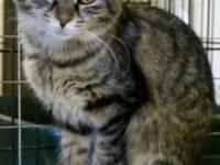 Maine Coon - Tina - Small - Adult - Female - Cat The