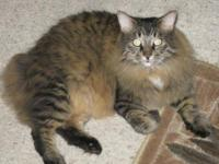 Maine Coon - Toni - Medium - Adult - Female - Cat