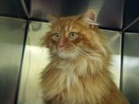 Maine Coon - Veronica - Small - Adult - Female - Cat