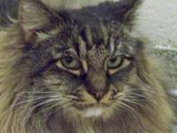 Maine Coon - Victoria - Large - Adult - Female - Cat