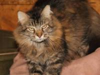 Maine Coon - Vivie @ Spaymart - Medium - Adult - Female
