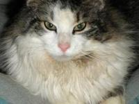 Maine Coon - Whiskers - Small - Young - Male - Cat