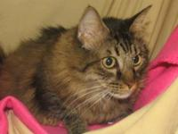 Maine Coon - Wonder Woman - Extra Large - Baby - Female