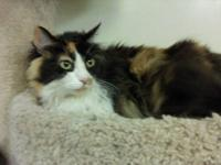 Maine Coon - Zoey - Large - Adult - Female - Cat Come