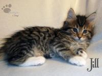 We have four beautiful female Maine Coon kittens CFA