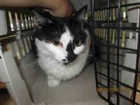 Maine Coon - A590832 - Small - Adult - Female - Cat