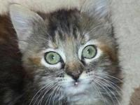 Maine Coon - Abbey - Medium - Baby - Female - Cat As of
