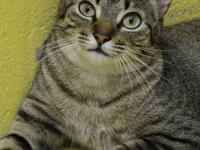 Maine Coon - Bella @ Petco In Kenner - Medium - Young -
