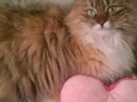 Maine Coon - Cammie- Courtesy Listing - Large - Adult -