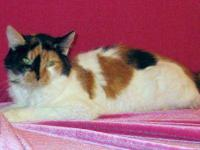 Maine Coon - Guinevere - N - Medium - Adult - Female -