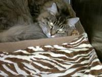 Maine Coon - Isabella - Medium - Adult - Female - Cat
