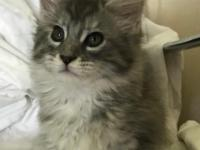 CFA registered Maine Coon kittens, gorgeous females &