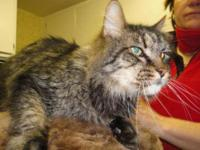 Maine Coon - Merlin - Medium - Senior - Male - Cat