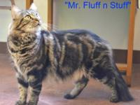 Maine Coon - Mr. Fluff-n-stuff - Large - Adult - Male -