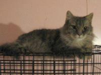 Maine Coon - Pamela - N - Large - Adult - Female - Cat