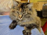 Maine Coon - Sadie - Large - Adult - Female - Cat