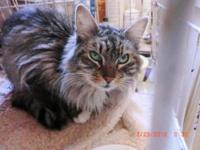 Maine Coon - Savannah - Small - Adult - Female - Cat