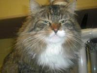 Maine Coon - Tazzy - Small - Adult - Male - Cat Tazzy