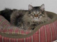 Maine Coon - Thumper - Medium - Young - Male - Cat
