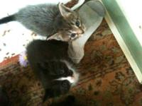 5 maine coon/ragdoll babies. 4 girls & 1 boy left. The