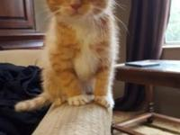 We have a beautiful orange mainecoon Tabby mix kitten