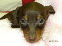 Maisie is a female smooth coat chocolate & & tan