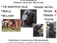 Maison's story Maison is a young male weimaraner that
