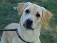 Maize (D16-133)'s story Maize is a yellow, Labrador