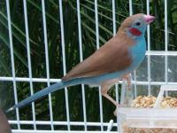 "This ""Cordon Bleu Finch"" is the talk of the town. They"