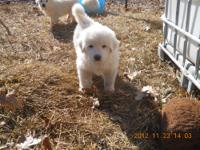 Majestic Great Pyrenees Puppies looking for work on