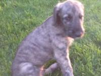 AKC Irish Wolfhound puppies. Ready to go September