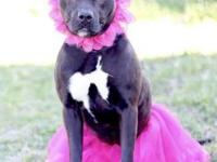 Majesty's story This beautiful bully mix is Majesty and