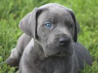 We have an AKC Euro/American color pure blue male Great