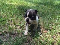 CKC registered male Boston Terrier Puppies ready August
